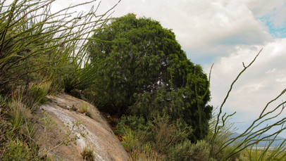 Pinus pinceana_Cañón de los Caballos_201