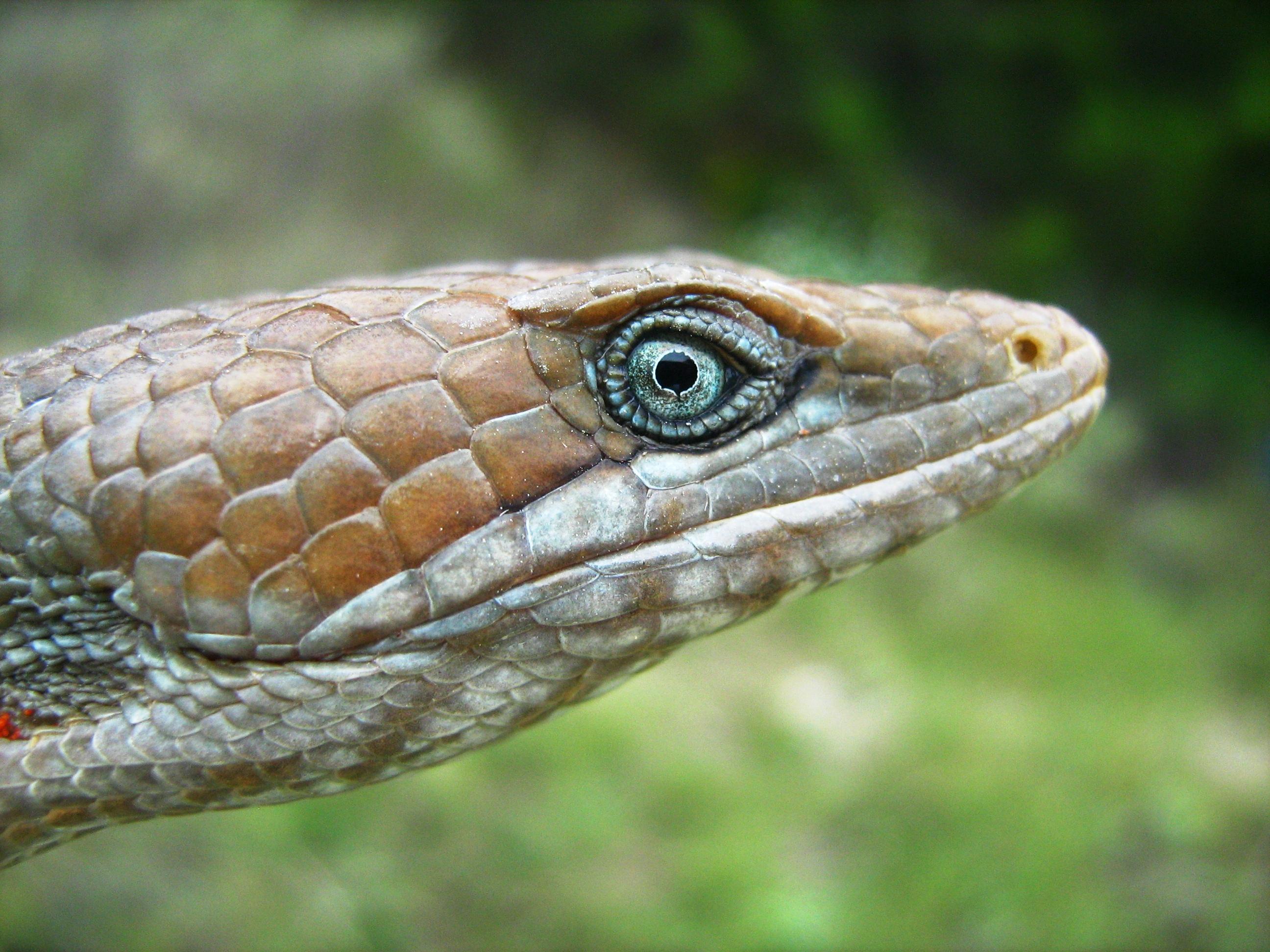 Lagartija caimán norteña