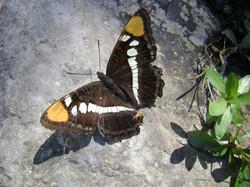 Monjita de Arizona