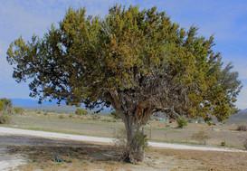 Juniperus Saltillensis editado editado.j