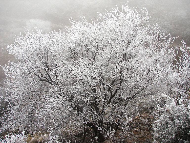 Quercus Encino - Camino del Cuatro - 201