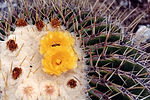 2002-09-20%20Chapultepec%20Echinocactus%
