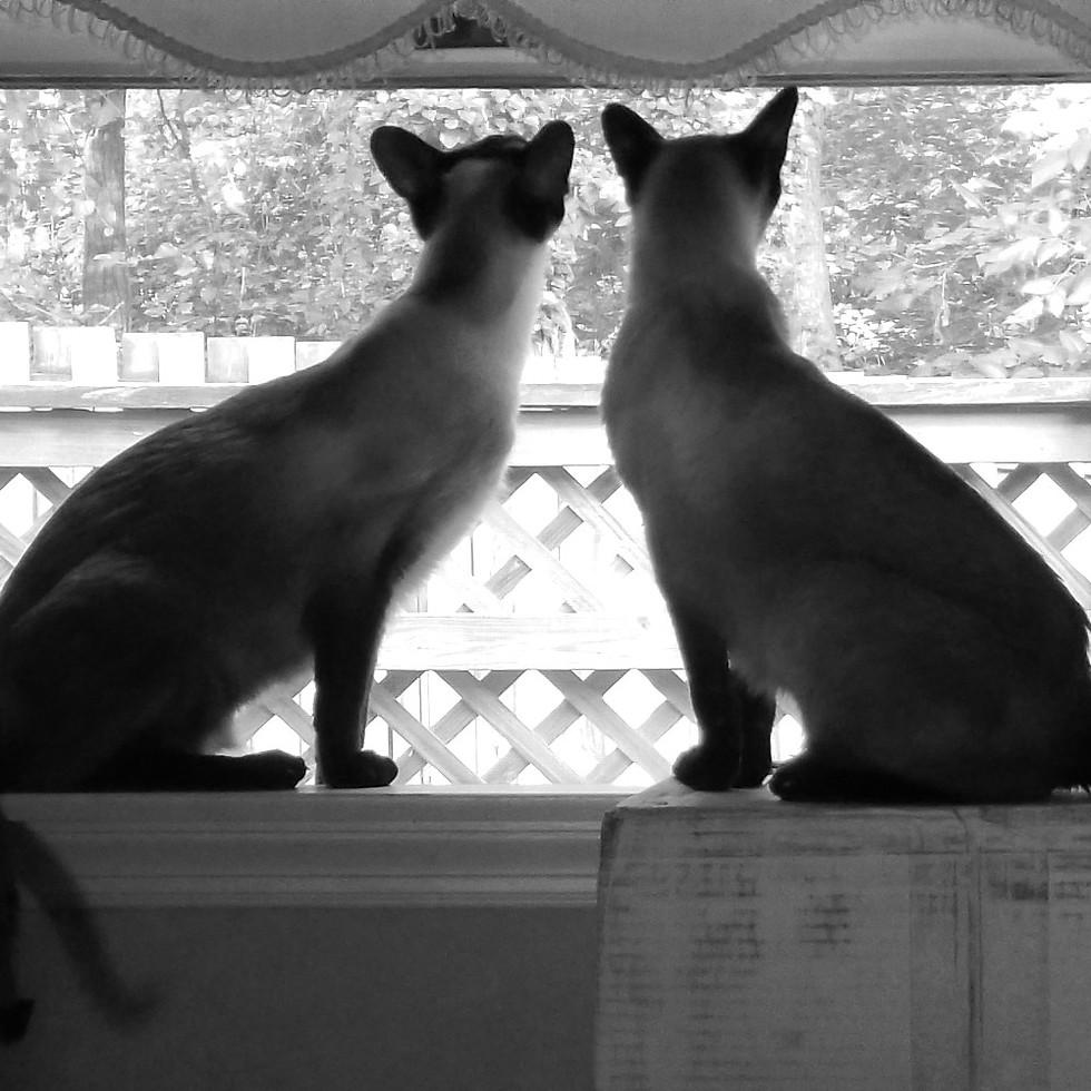 Siamese Curiosity