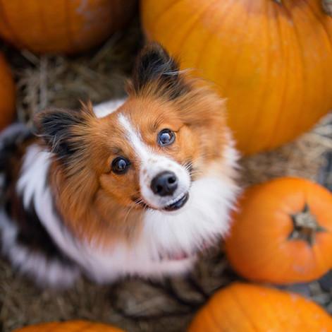 Can dogs eat pumpkin?