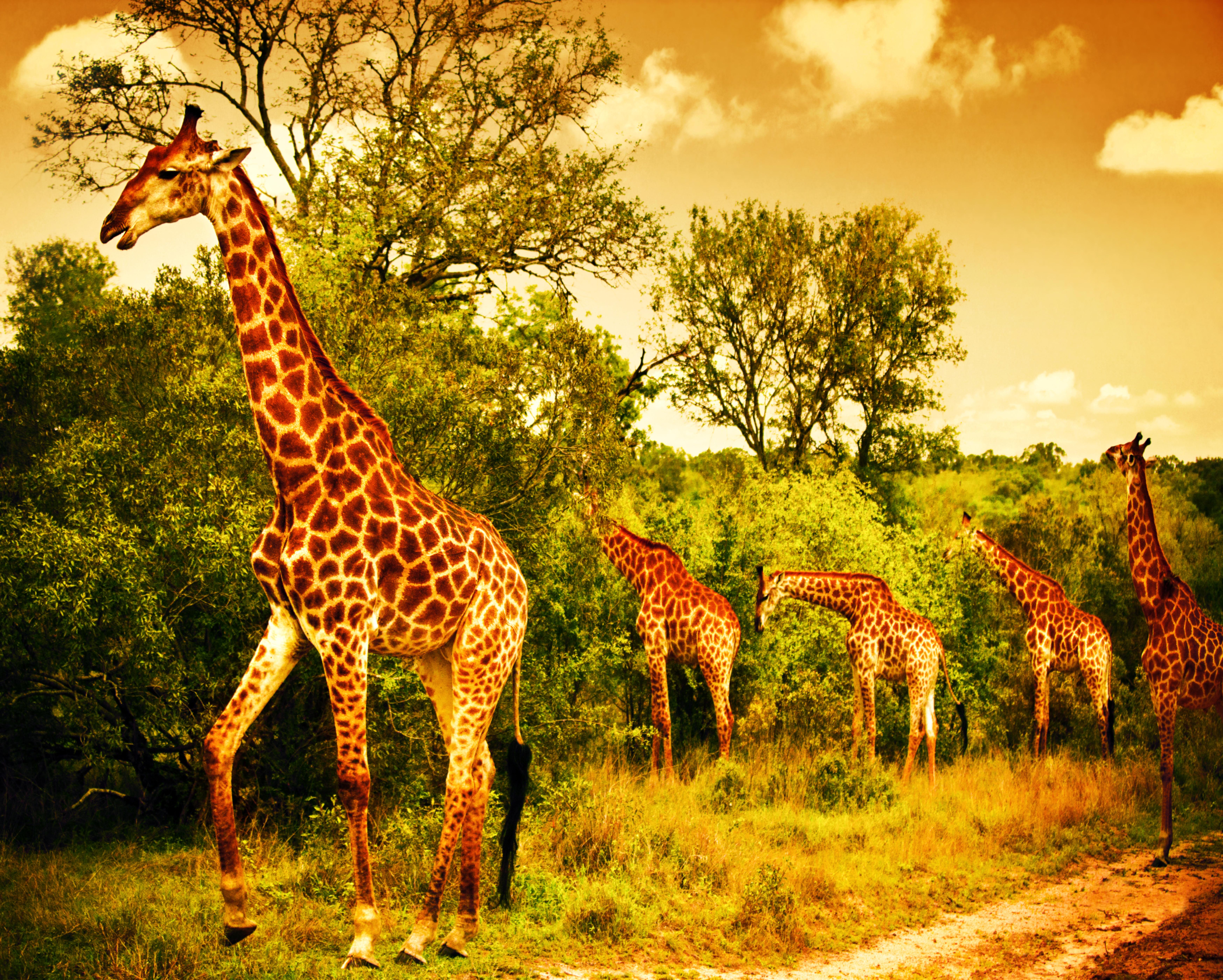9-Giraffe