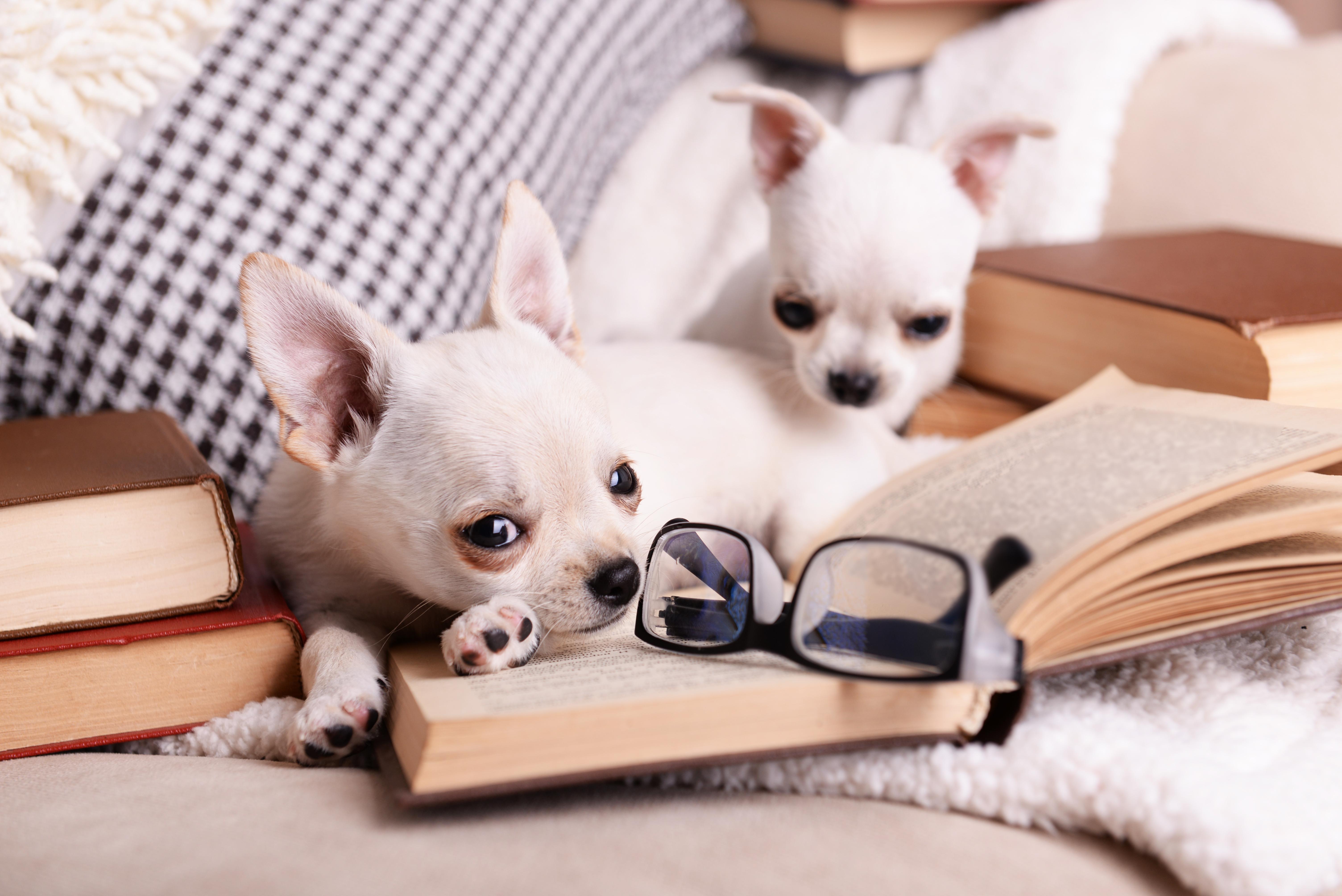 30-Chihuahuas