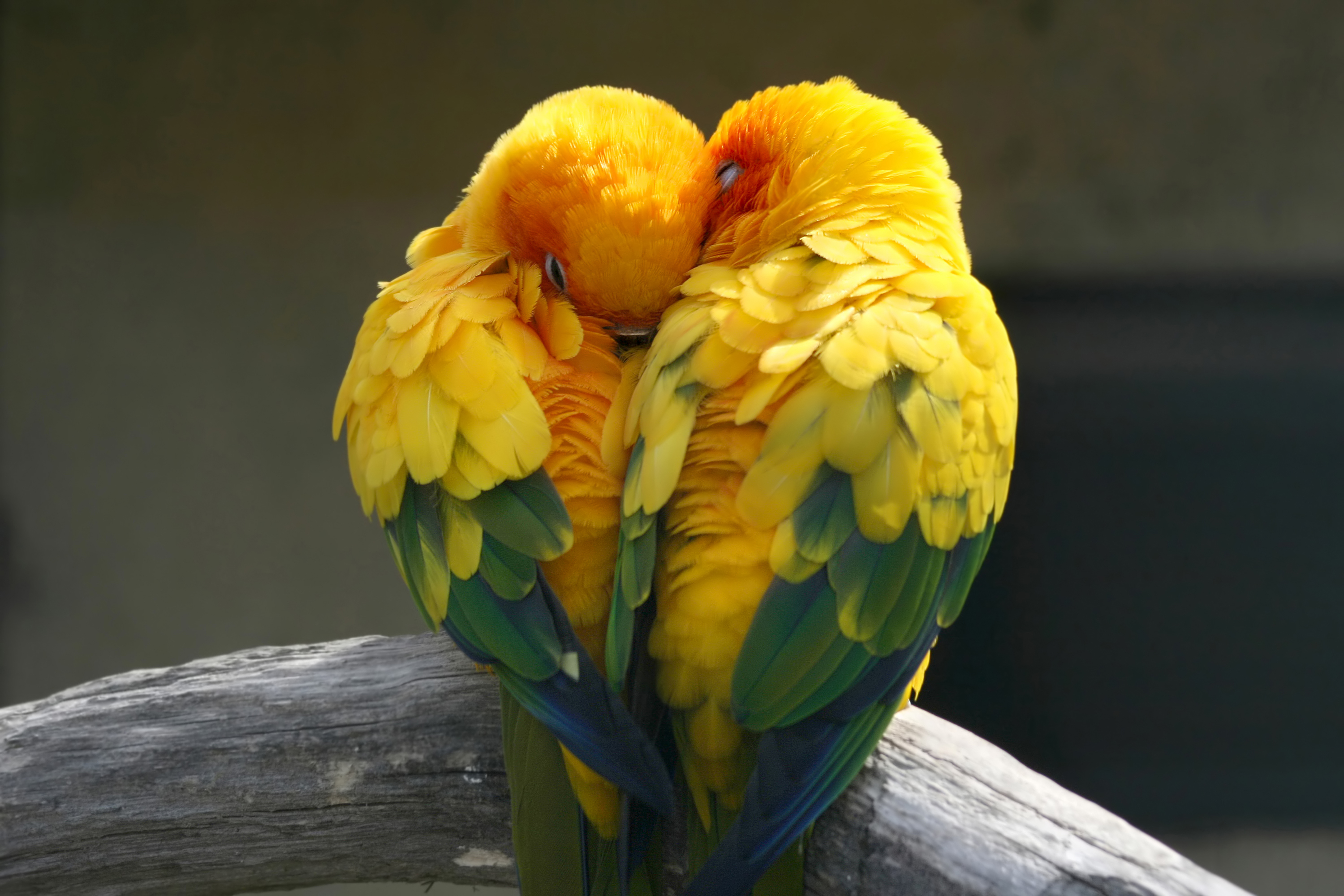 17-Lovebirds