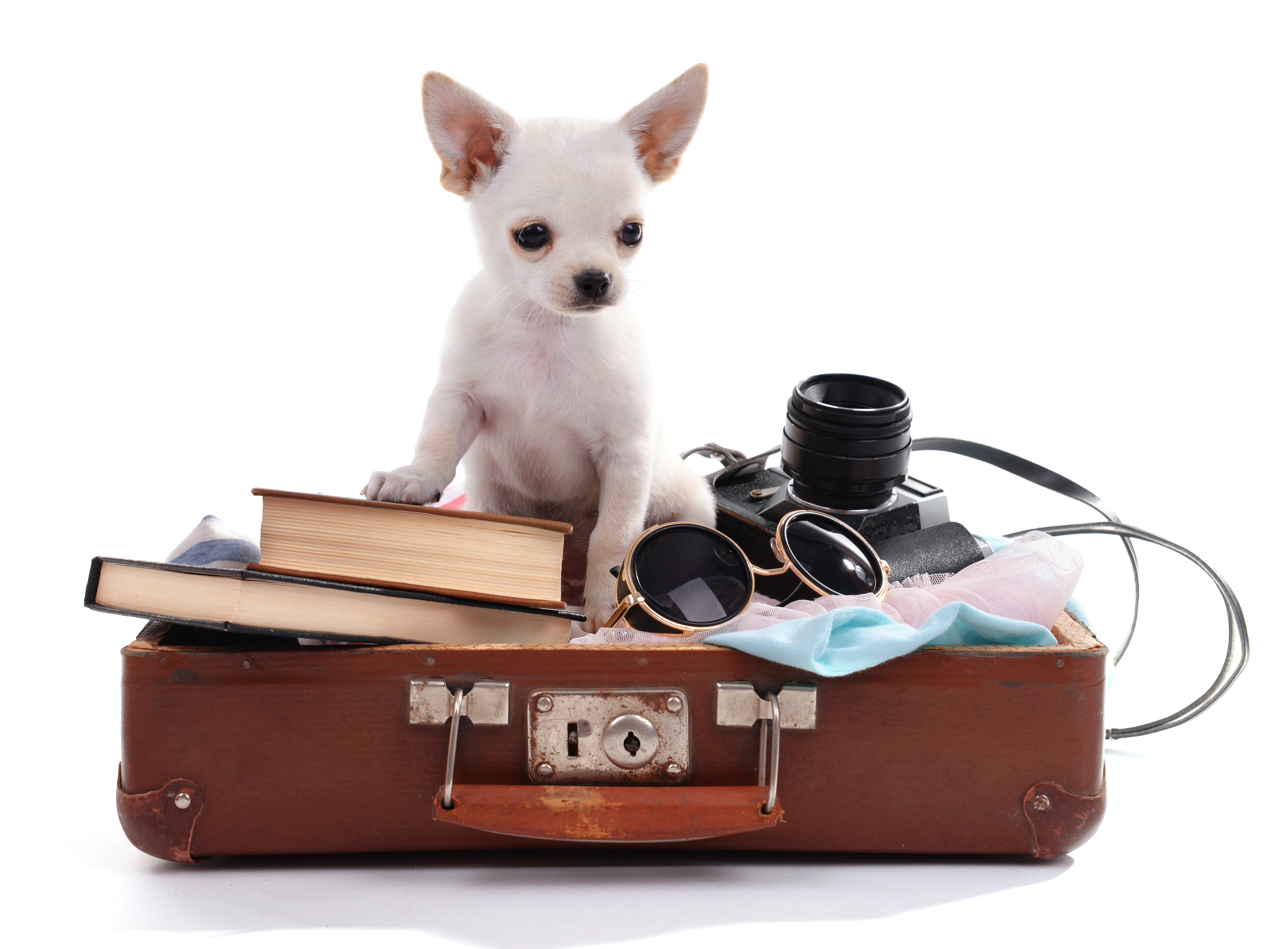 29-Chihuahua