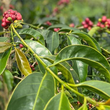 Arabika ve Robusta bitkilerinin farkları nelerdir?