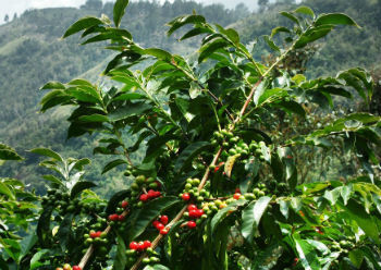 Arabika vs. Robusta