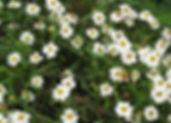 black foot daisy.jpg