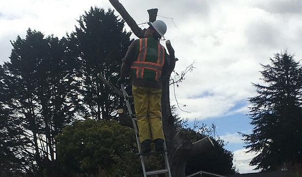 Landscape Maintenance, trimming back a tree.