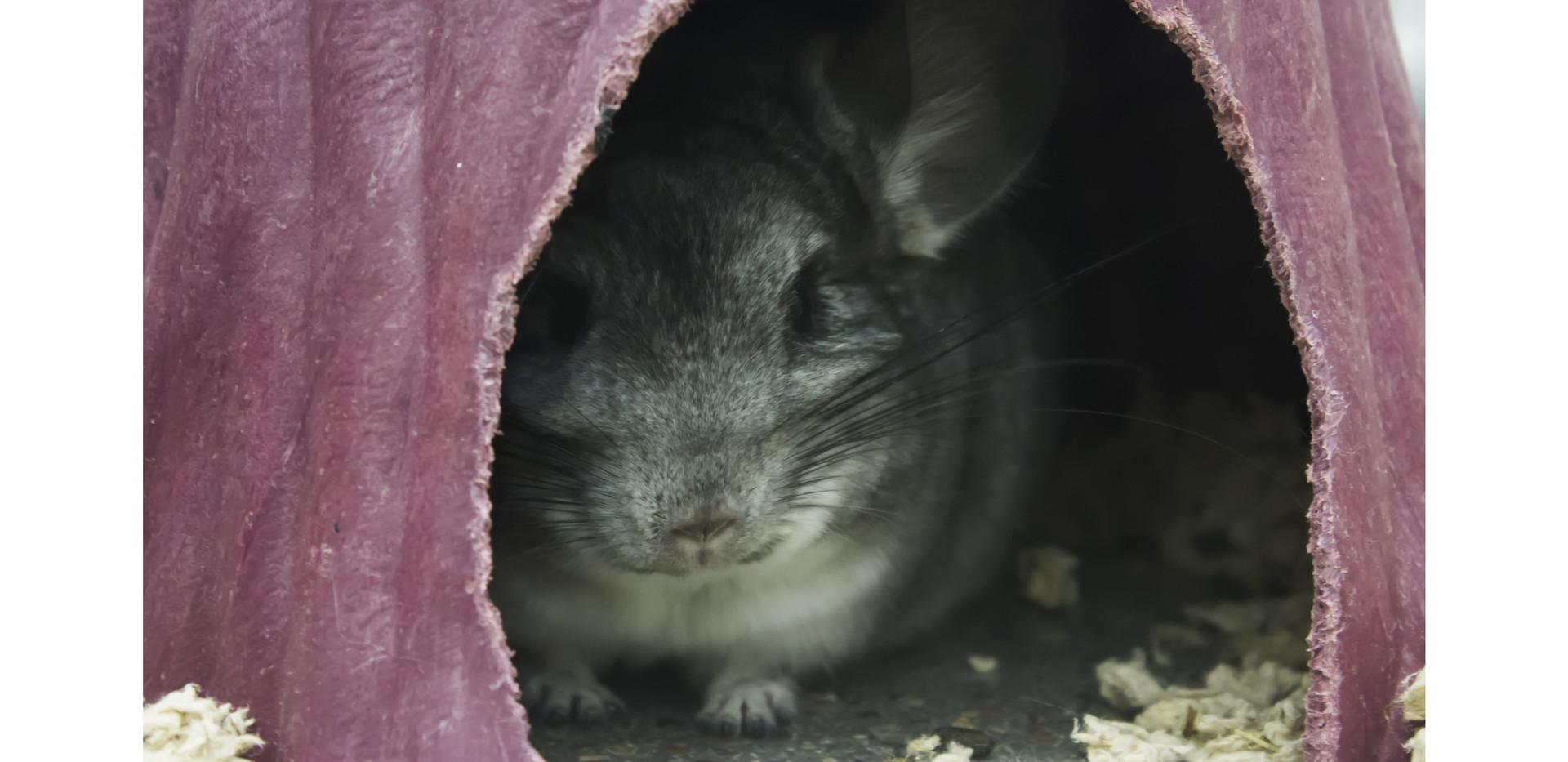 chinchilla in hut