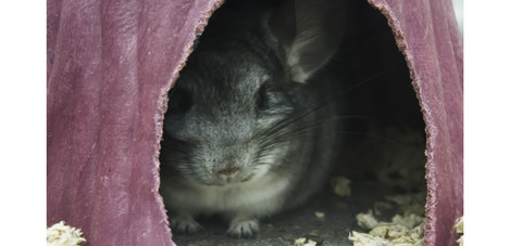 chinchilla in hut