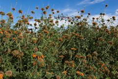 Field of orange flowers