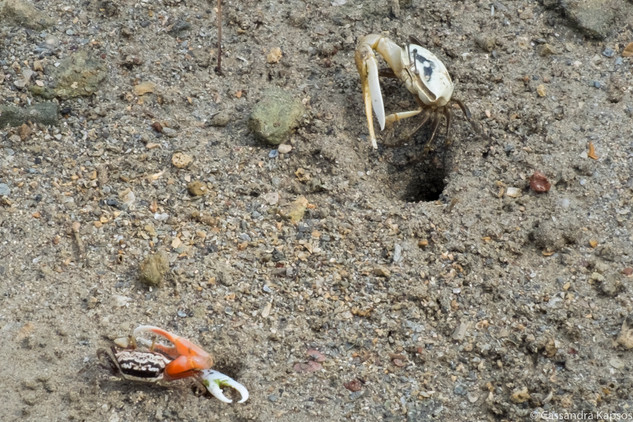Two One Claw Crabs