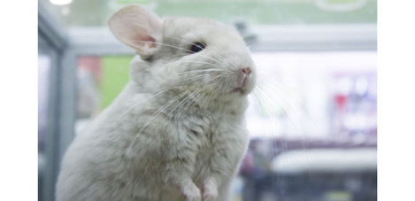 final chinchilla portrait