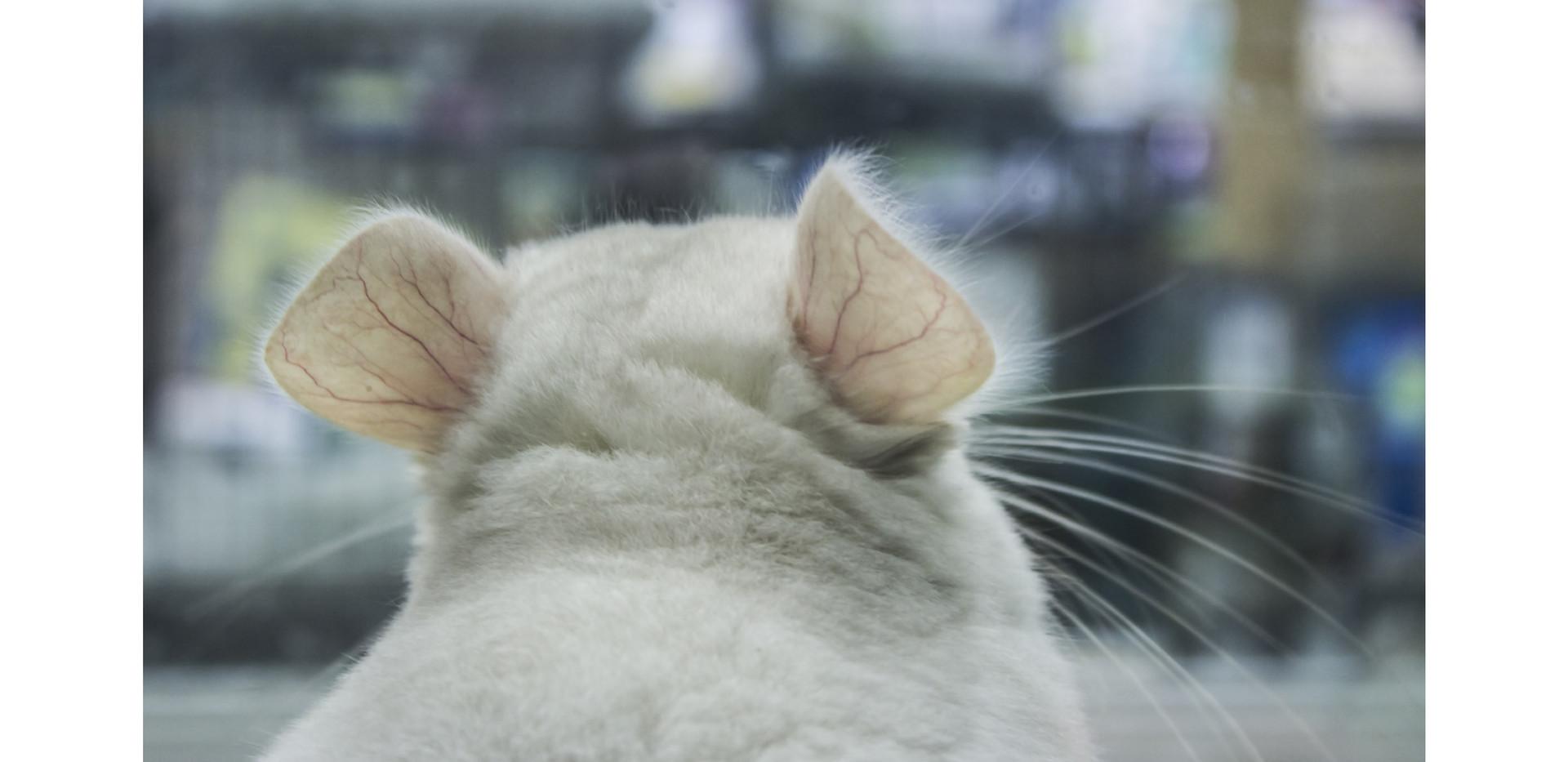 chinchilla ears