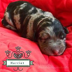 Tri Merle Female #merleparti #trimerle #