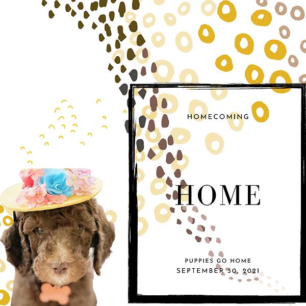 Brown mini bernedoodle puppy luxury storybook bernedoodles