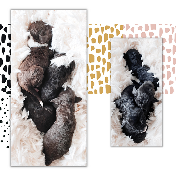 Black and white tri brown chocolate red mini bernedoodle puppy luxury storybook bernedoodles