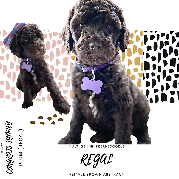 brown mini bernedoodle puppy available Brown mini bernedoodle puppy luxury storybook bernedoodles