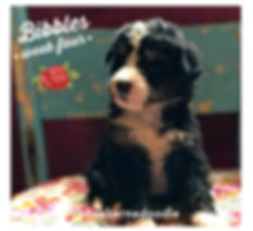 tri color bernedoodle puppy