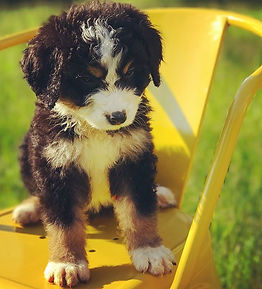 #poppy #throwback2017 #bernedoodlepuppy