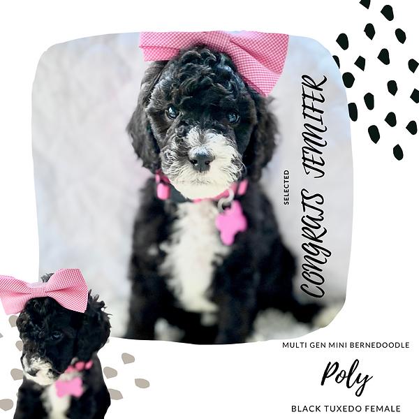 black and white mini bernedoodle puppy luxury storybook bernedoodles