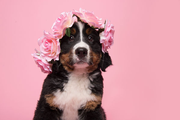 Portrait of a bernese mountain dog puppy wearing a pink flower diadem on a pink background