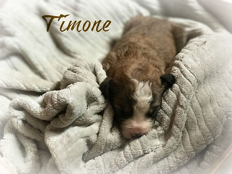 Sable tri color bernedoodle puppy