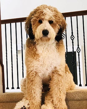 """Look at this adorable Bear! His name is """"Yogi"""" a two year old #standardbernedoodle from ou"""