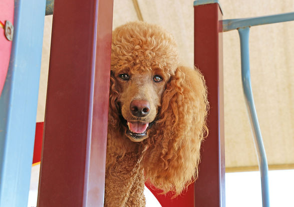 red standard poodle with happy face.jpg