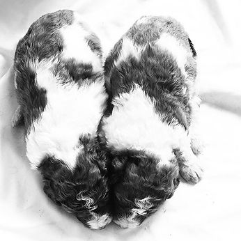Michigan Ontario Canada Bernedoodl#twinning #oneheart #bernedoodles #berdoodle
