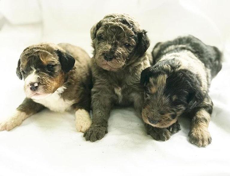 Amelia, Eleanor, Harriet #Bernedoodle #b