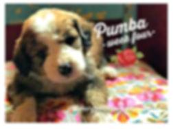 Blonde sable tri color bernedoodle puppy