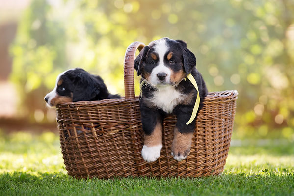 bernese mountain puppy in a basket outdoors.jpg