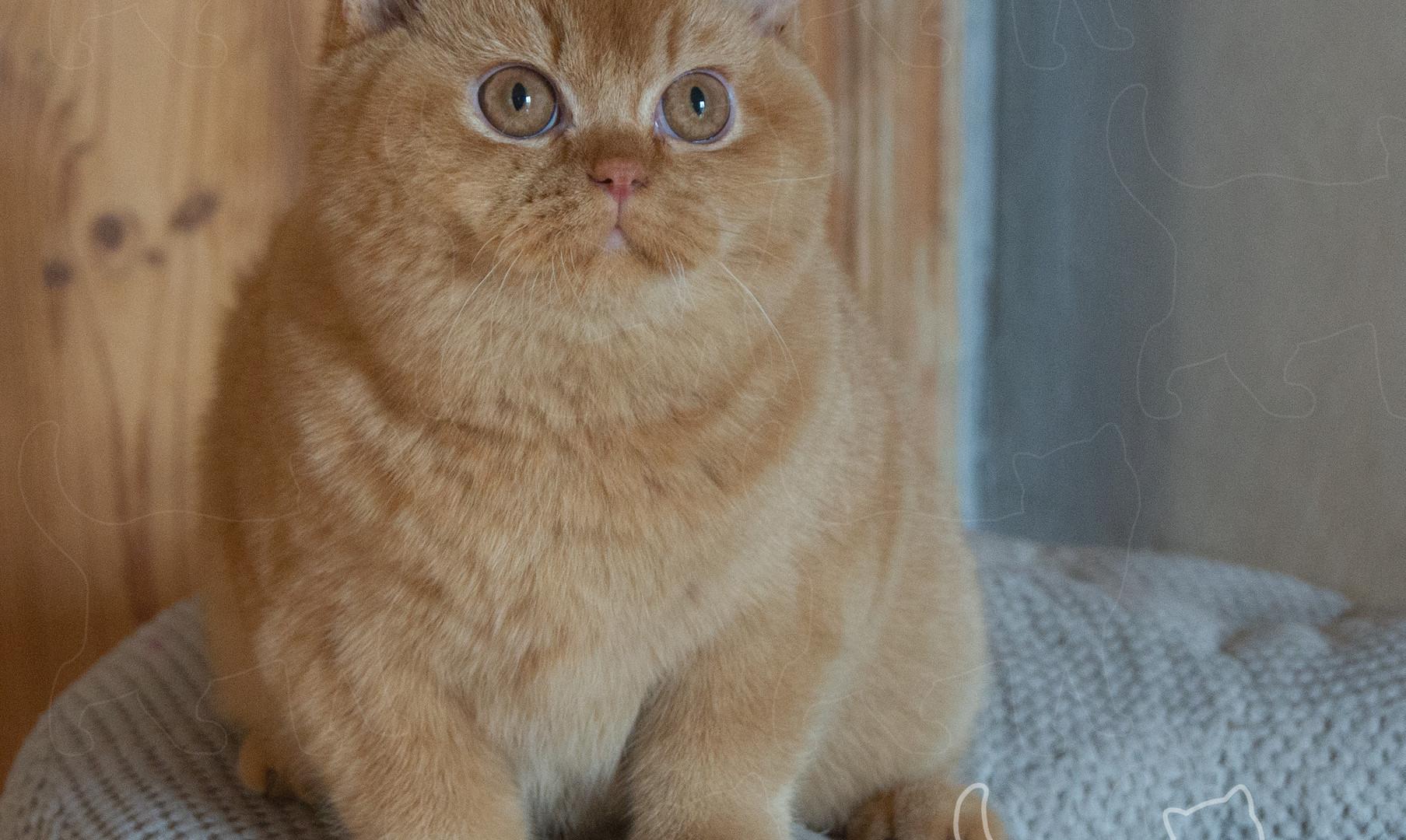rudy kot brytyjski Mymble Vabank*PL.JPG