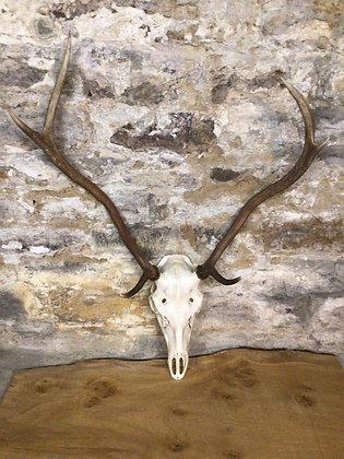 Skull & Antlers