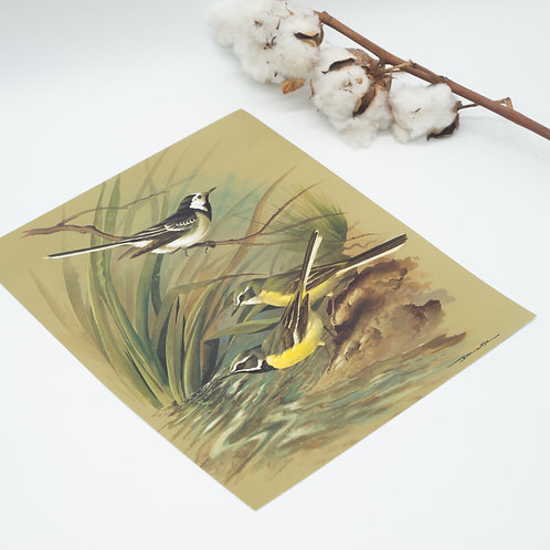 Vintage Grey Wagtail & Pied Wagtail print by Basil Ede (c.1960)
