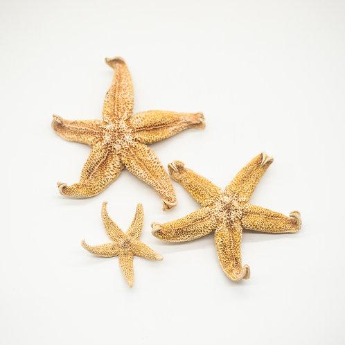 Set of 3 Natural Norfolk Starfish