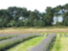 LavenderFields.jpg