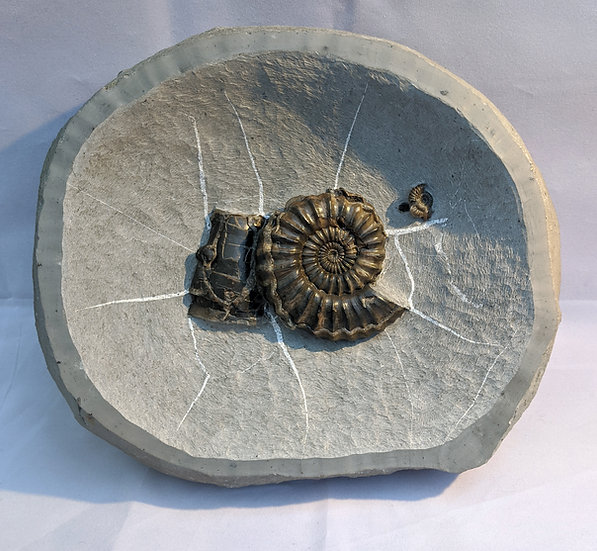 8 cm Androgynoceras sp. with belemnite phragmocone, Charmouth, Jurassic coast