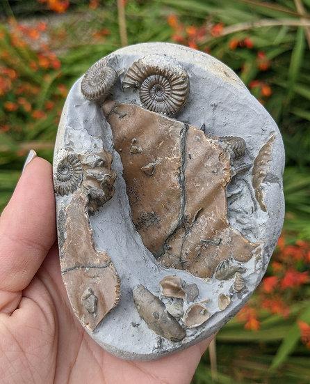 Oistoceras figulinum body chamber piece, Charmouth, Jurassic coast