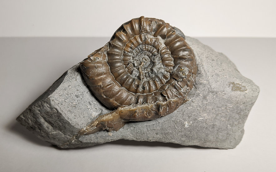 6 cm Echioceras sp. from Charmouth, Jurassic coast, UK
