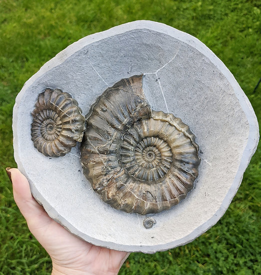 13 cm Androgynoceras lataecosta, Lower Pliensbachian, Charmouth