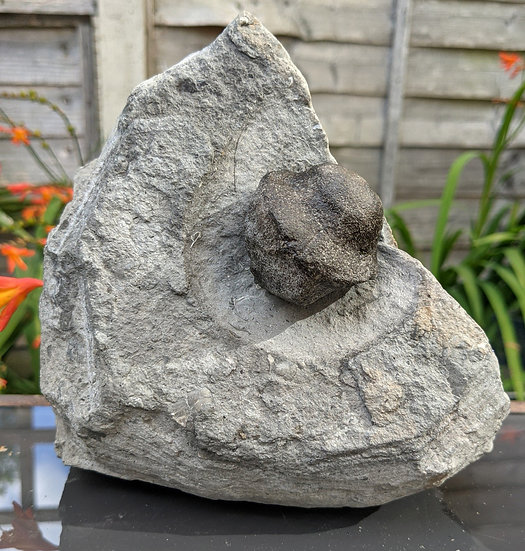 Ichthyosaur Basioccipital bone in matrix, Charmouth, Jurassic coast.