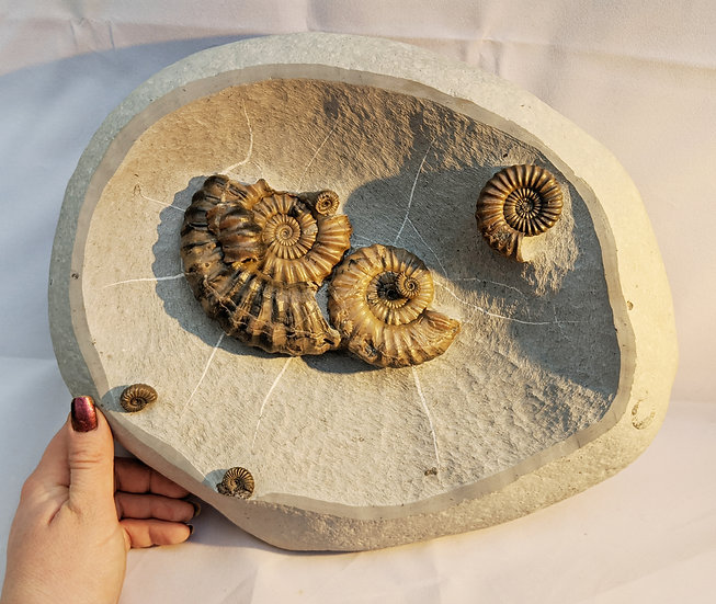 Large nodule 11 cm Androgynoceras lataecosta, Lower Pliensbachian ammonite