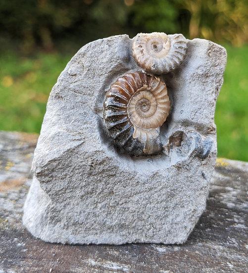 2.5 cm calcite Promicroceras, Lower Lias, Charmouth, Jurassic coast, Do