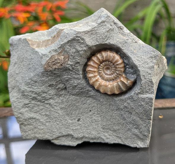 25 mm calcite Promicroceras, Lower Lias, Charmouth, Jurassic coast